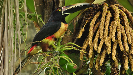 tucan, tiere in costa rica